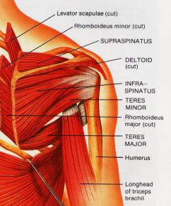 The Shoulder Muscle Group.
