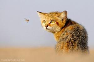 focus-cat-bug