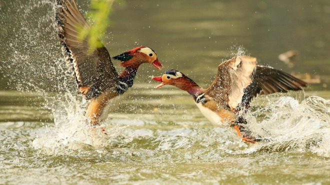 Two-mandarin-ducks-fighting-on-the-water-01